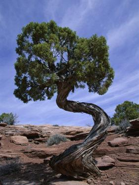 Juniper Tree with Curved Trunk, Canyonlands National Park, Utah, USA by Jean Brooks