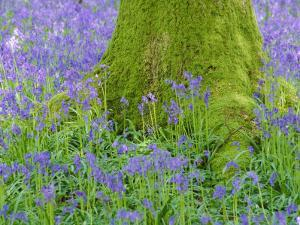 Moss Covered Base of a Tree and Bluebells in Flower, Bluebell Wood, Hampshire, England, UK by Jean Brooks
