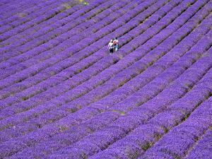 People in Lavender Field, Lordington Lavender Farm, Lordington, West Sussex, England, UK, Europe by Jean Brooks
