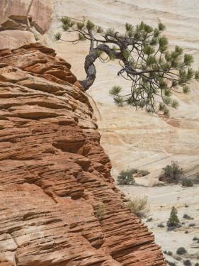 Ponderosa Pine on Sandstone Cone, Zion National Park, Utah, United States of America, North America by Jean Brooks
