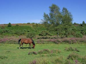 Pony Grazing, New Forest, Hampshire, England, United Kingdom, Europe by Jean Brooks