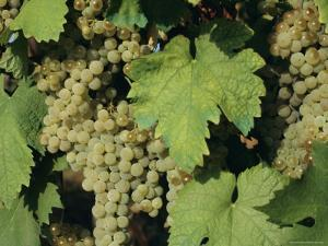 White Grapes on Vine, Italy, Europe by Jean Brooks
