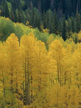 Yellow Aspens, Colorado, USA by Jean Brooks