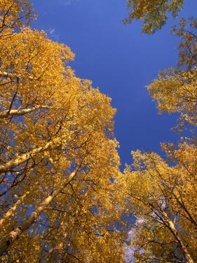 Yellow Aspens in the Fall, Colorado, United States of America, North America by Jean Brooks