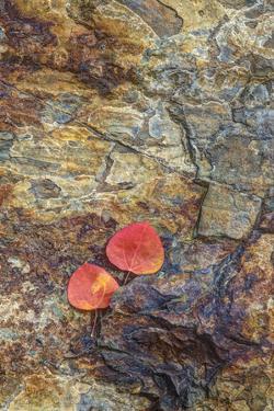 USA, California, June Lake. Aspen Leaves on Rocky Ledge by Jean Carter