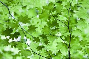 USA, California, Redwoods NP. Spring Canopy of Vine Maple Leaves by Jean Carter