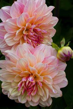 USA, Oregon, Shore Acres State Park. Close-up of Dahlia Flowers by Jean Carter
