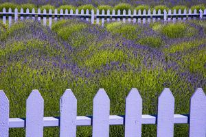 USA, Washington State, Sequim. Field of Lavender with Picket Fence by Jean Carter