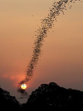 Bat Swarm at Sunset by Jean De