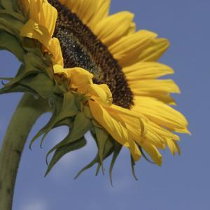 Sunflower III by Jean-François Dupuis