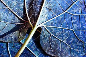 Veined leaf I by Jean-François Dupuis