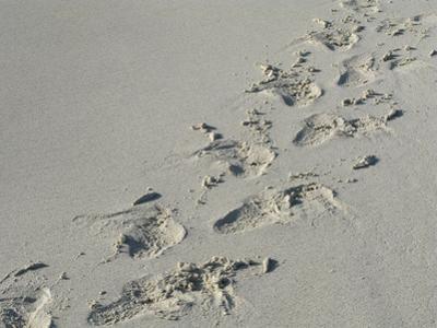 Galapagos Sealion (Zalophus califonianus wollebaeki) tracks, on sandy beach, Galapagos Islands
