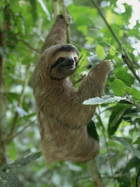 Three Toed Sloth, Manuel Antonio Park, Costa Rica, Central America by Jean-luc Brouard