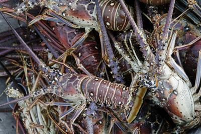 Lobsters, Anegada Island, British Virgin Islands, West Indies, Caribbean, Central America