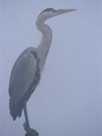Grey Heron in Mist, Keoladeo Ghana Np, Bharatpur, Rajasthan, India