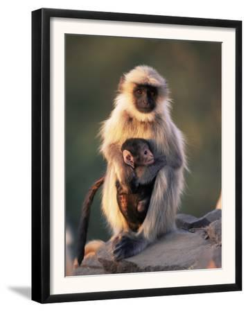 Hanuman Langur Adult Caring for Young, Thar Desert, Rajasthan, India