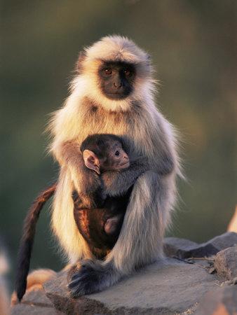 Hanuman Langur Adult Caring for Young, Thar Desert, Rajasthan, India