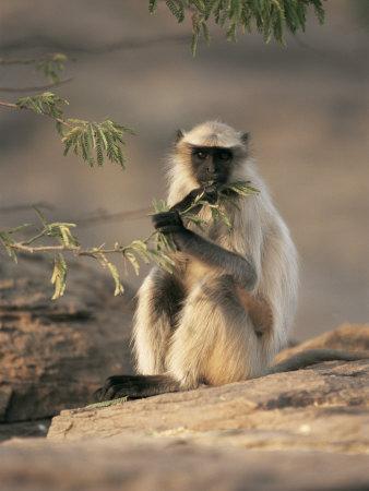 Hanuman Langur Juvenile Feeding on Acacia Leaves, Thar Desert, Rajasthan, India