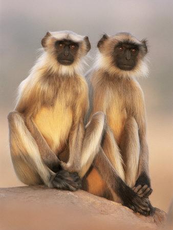 Hanuman Langur Two Adolescents Sitting, Thar Desert, Rajasthan, India