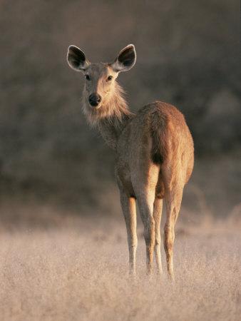 Indian Sambar Deer Ranthambore Np, Rajasthan, India