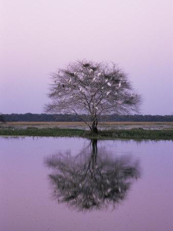 Keoladeo Ghana Np, Bharatpur, Rajasthan, India, with Egrets Roosting in Tree