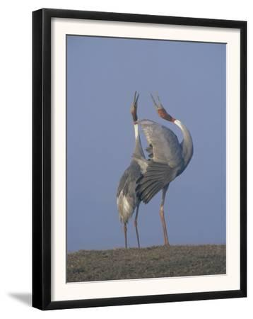 Sarus Cranes Pair Displaying, Unison Call, Keoladeo Ghana Np, Bharatpur, Rajasthan, India