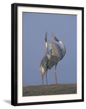 Sarus Cranes Pair Displaying, Unison Call, Keoladeo Ghana Np, Bharatpur, Rajasthan, India by Jean-pierre Zwaenepoel