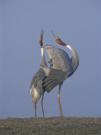 Sarus Cranes Pair Displaying, Unison Call, Keoladeo Ghana Np, Bharatpur, Rajasthan, India