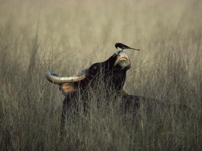 Wild Gaur, Adult Bull Endangered, with Black Drongo on Nose. Bandhavgarh Np, Madhya Pradesh, India