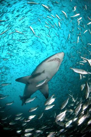 Big Raggie Swims through Baitfish Shoal by Jean Tresfon