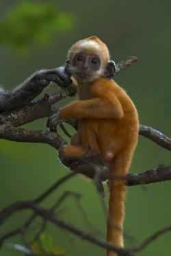A Baby White-headed Langur, Trachypithecus Leucocephalus, in a Tree by Jed Weingarten