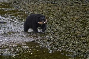 A Black Bear Carries a Salmon it Caught to Shore for a Meal by Jed Weingarten