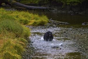 A Black Bear Chases Down a Salmon in a Stream by Jed Weingarten