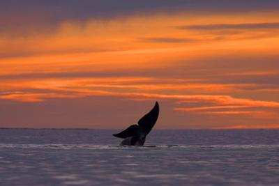 A Diving Whale's Tail Flukes Silhouetted on an Orange Sky at Sunset