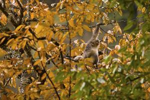 A Juvenile Yunnan Snub-Nosed Monkey, Rhinopithecus Bieti, in a Tree by Jed Weingarten