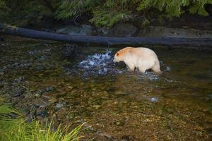 A Kermode or Spirit Bear Fishing for Salmon by Jed Weingarten