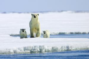 A Polar Bear, Ursus Maritimus, and Her Cubs on an Ice Floe by Jed Weingarten