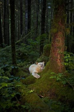 A Spirit or Kermode Bear Wakes from a Nap with a Yawn by Jed Weingarten