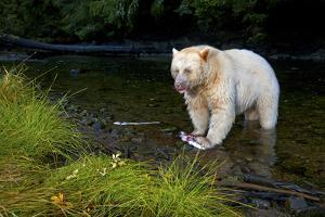 A Well Fed Spirit Bear Catching Female Salmon and Eating Only the Eggs by Jed Weingarten