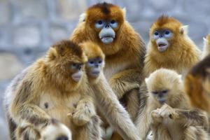 Endangered Golden Snub-Nosed Monkeys, Rhinopithecus Roxellana, Eating by Jed Weingarten