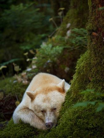 A Spirit or Kermode Bear, Resting on a Bed of Moss
