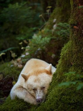 A Spirit or Kermode Bear, Resting on a Bed of Moss by Jed Weingarten/National Geographic My Shot