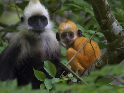 A White-Headed Langur an Infant in a Tree