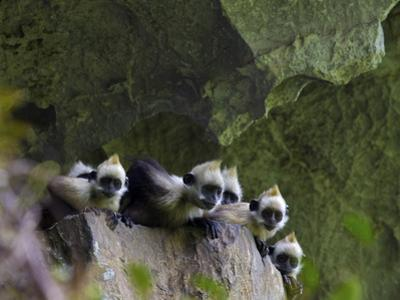 White-Headed Langurs Looking over the Edge of a Boulder