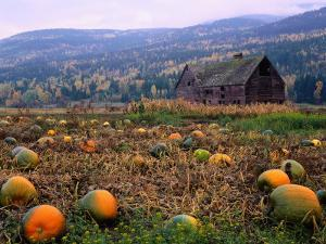 A 100-Year-Old Barn Stands in a Field of Pumpkins at Halloween by Jeff Foott