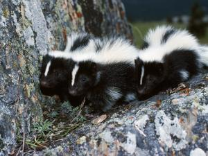 A Group of Striped Skunks Huddle on a Rock by Jeff Foott