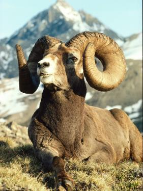 Bighorn Sheep Ram Sits on Grass by Jeff Foott