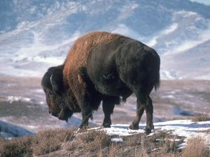 Bison Stands on Snowy Hill by Jeff Foott