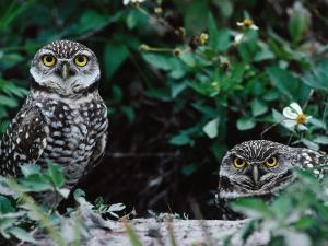 Burrowing Owls Peer Out from Den Site by Jeff Foott