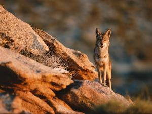 Coyote Stands on Rock Ledge by Jeff Foott